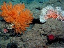 hawaii coral
