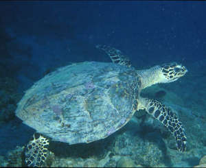AS green turtle
